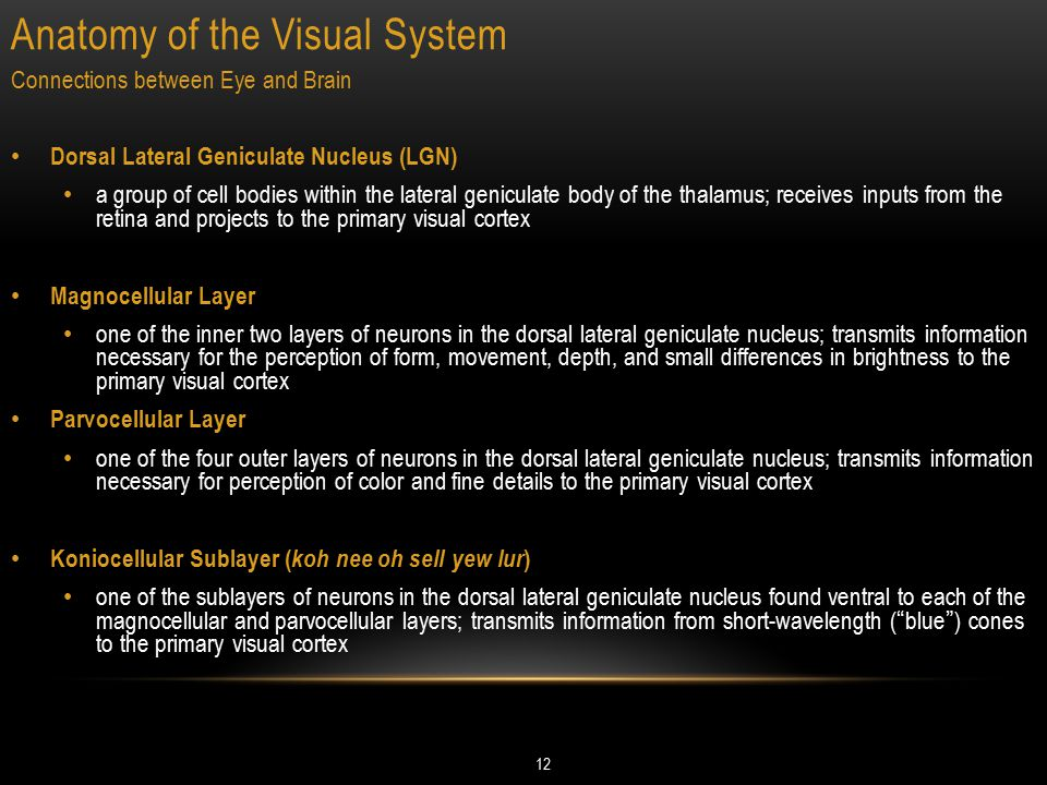 Anatomy of the Visual System 12 Connections between Eye and Brain Dorsal Lateral Geniculate Nucleus (LGN) a group of cell bodies within the lateral ge