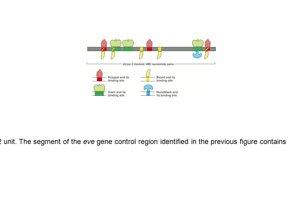 Figure 7-55. Close-up view of the eve stripe 2 unit. The segment of the eve gene control region identified in the previous figure contains regulatory