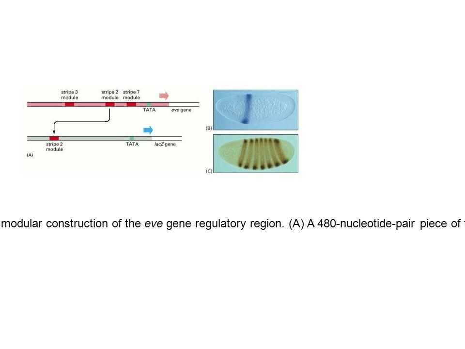 Figure 7-54.Experiment demonstrating the modular construction of the eve gene regulatory region.