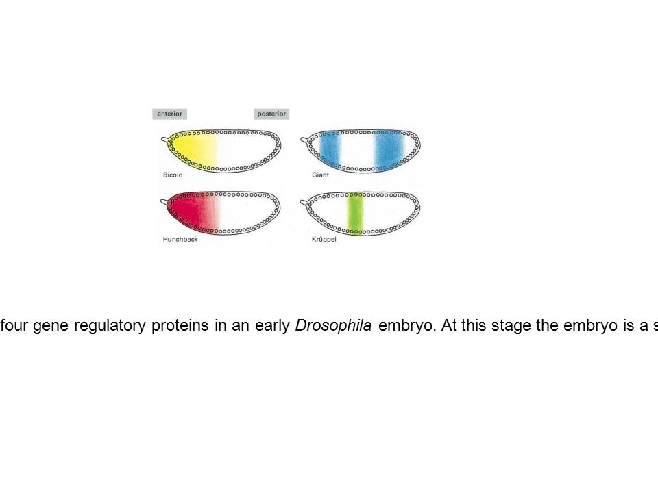 Figure 7-52. The nonuniform distribution of four gene regulatory proteins in an early Drosophila embryo. At this stage the embryo is a syncytium, with