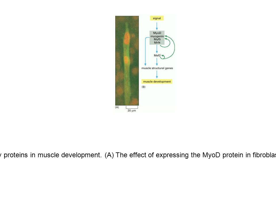 Figure 7-72. Role of the myogenic regulatory proteins in muscle development. (A) The effect of expressing the MyoD protein in fibroblasts. As shown in