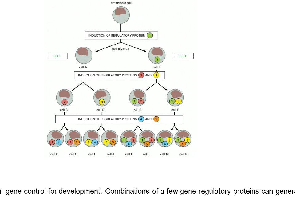 Figure 7-73.The importance of combinatorial gene control for development.