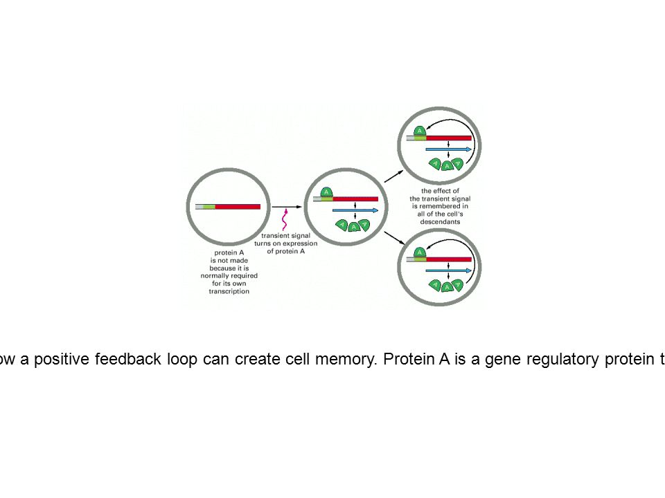Figure 7-68. Schematic diagram showing how a positive feedback loop can create cell memory. Protein A is a gene regulatory protein that activates its