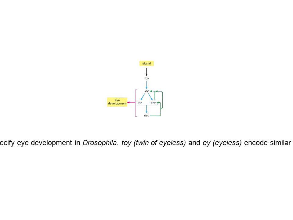 Figure 7-75. Gene regulatory proteins that specify eye development in Drosophila. toy (twin of eyeless) and ey (eyeless) encode similar gene regulator