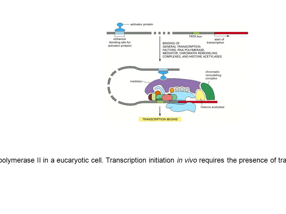 Figure 6-19. Transcription initiation by RNA polymerase II in a eucaryotic cell. Transcription initiation in vivo requires the presence of transcripti