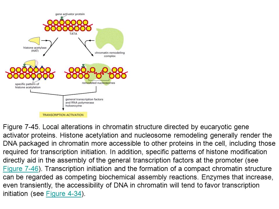 Figure 7-45. Local alterations in chromatin structure directed by eucaryotic gene activator proteins. Histone acetylation and nucleosome remodeling ge