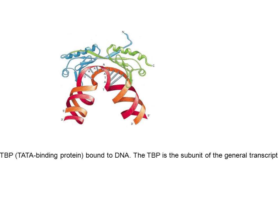 Figure 6-18. Three-dimensional structure of TBP (TATA-binding protein) bound to DNA. The TBP is the subunit of the general transcription factor TFIID
