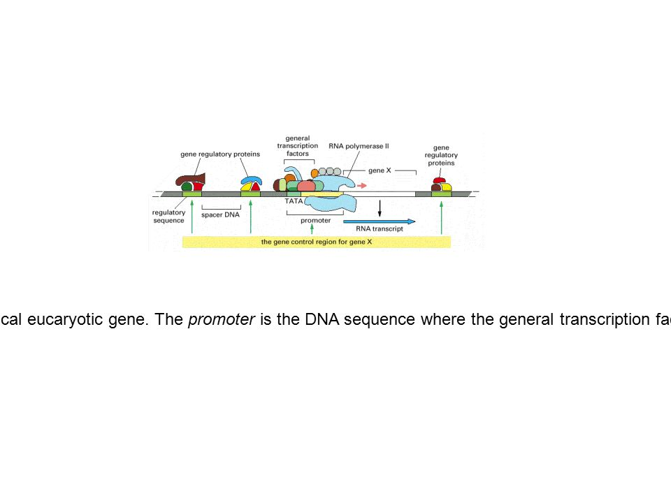 Figure 7-41.The gene control region of a typical eucaryotic gene.