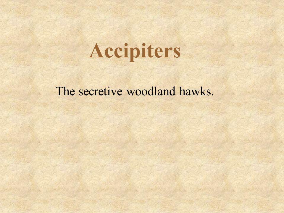 Accipiters The secretive woodland hawks.