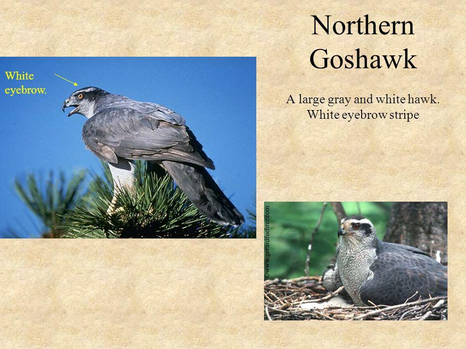 Northern Goshawk A large gray and white hawk. White eyebrow stripe White eyebrow.