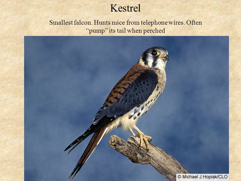 Kestrel Smallest falcon. Hunts mice from telephone wires. Often pump its tail when perched