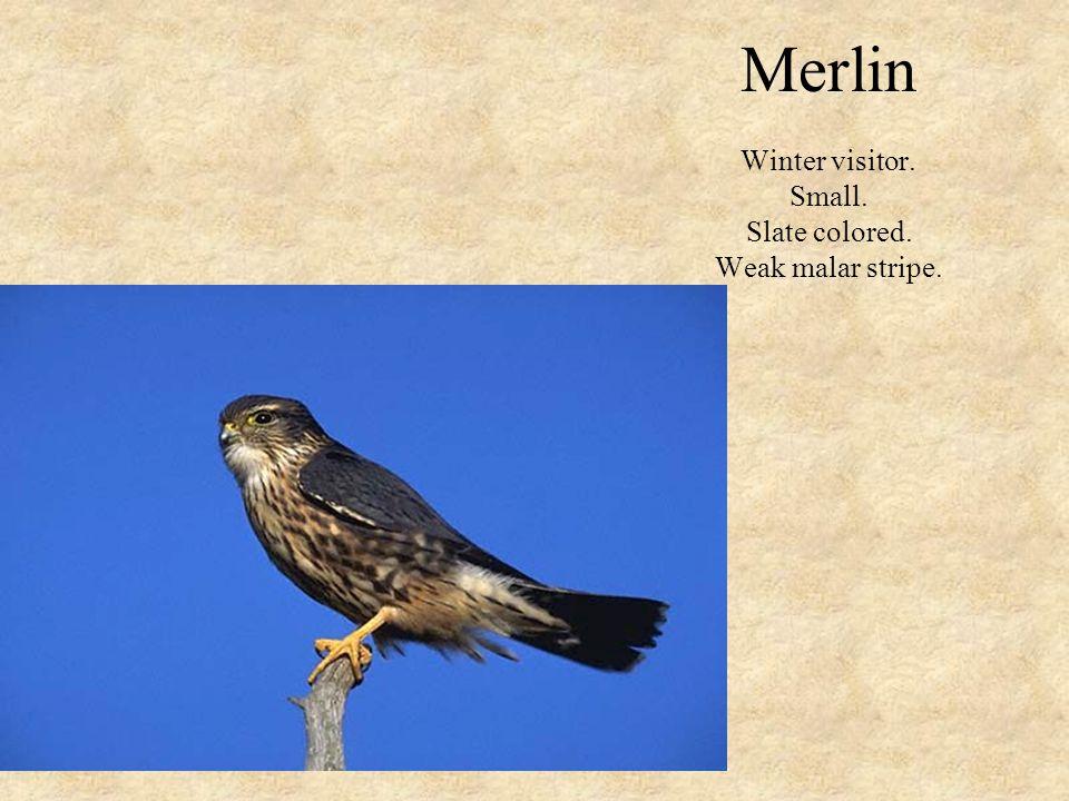 Merlin Winter visitor. Small. Slate colored. Weak malar stripe.