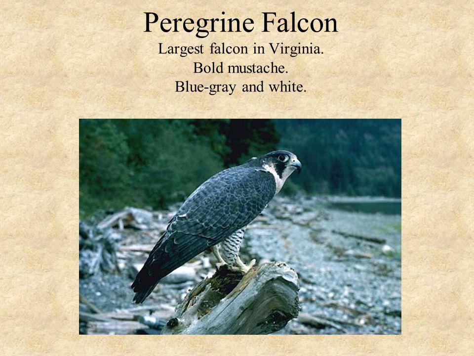 Peregrine Falcon Largest falcon in Virginia. Bold mustache. Blue-gray and white.