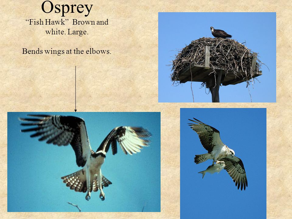 Osprey Fish Hawk Brown and white. Large. Bends wings at the elbows.