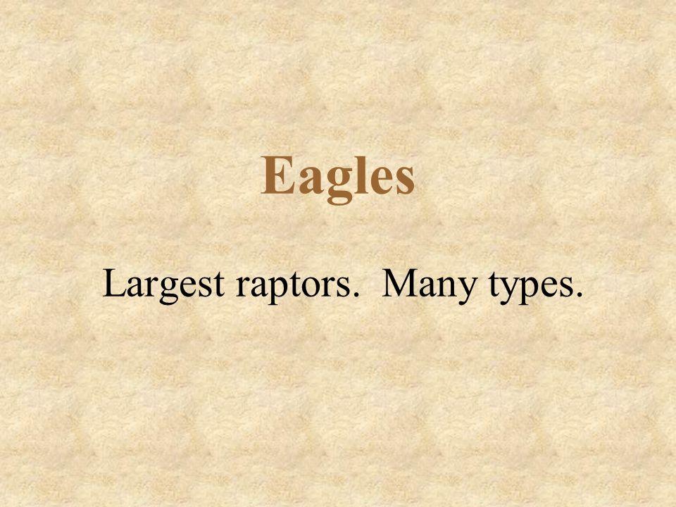 Eagles Largest raptors. Many types.