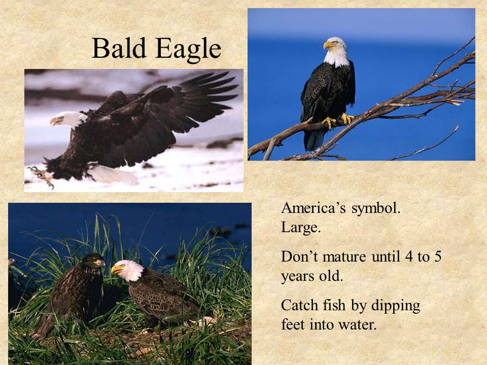 Bald Eagle America's symbol. Large. Don't mature until 4 to 5 years old.