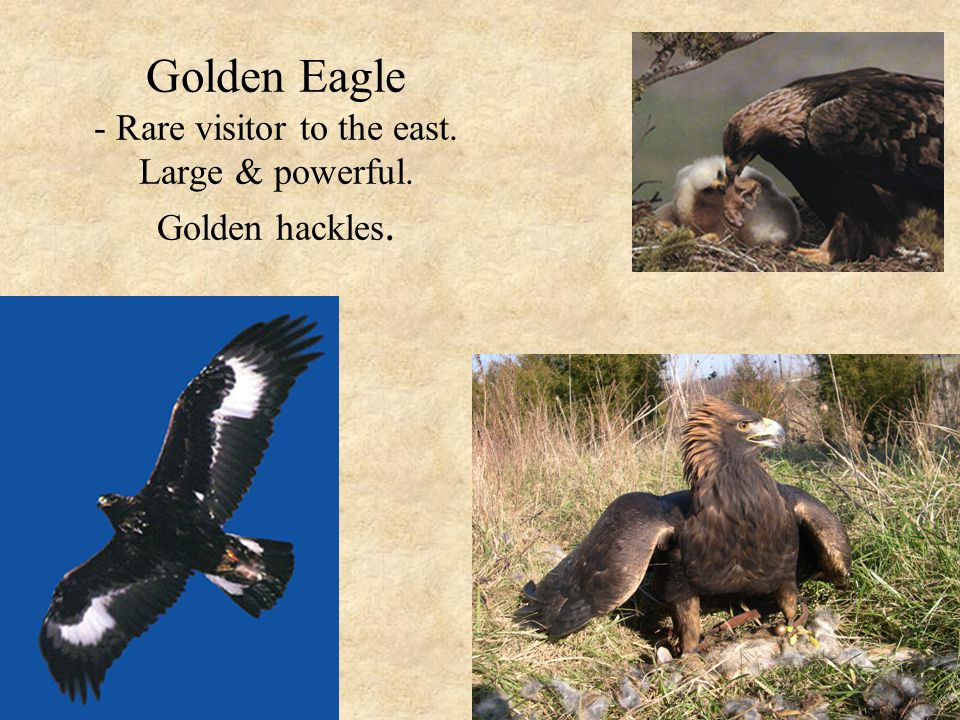 Golden Eagle - Rare visitor to the east. Large & powerful. Golden hackles.