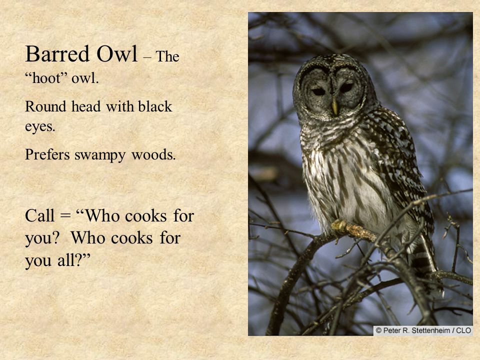Barred Owl – The hoot owl. Round head with black eyes.