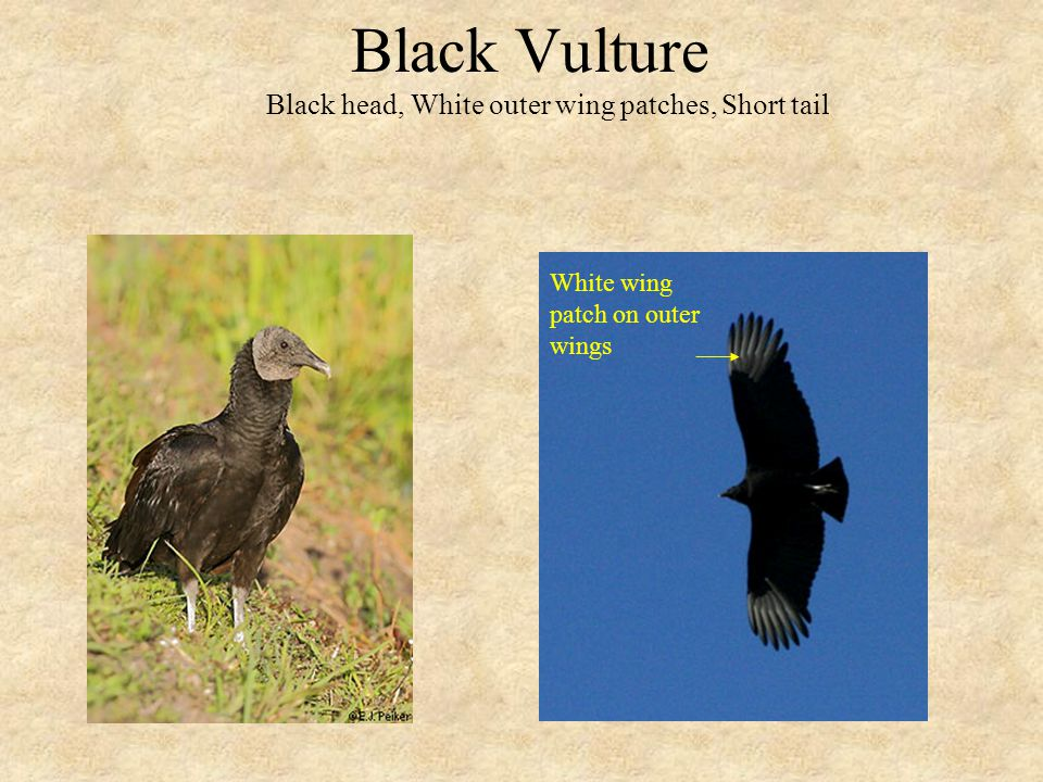 Black Vulture Black head, White outer wing patches, Short tail White wing patch on outer wings