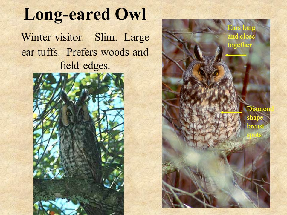 Long-eared Owl Winter visitor. Slim. Large ear tuffs.