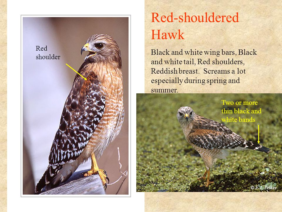 Red-shouldered Hawk Black and white wing bars, Black and white tail, Red shoulders, Reddish breast.
