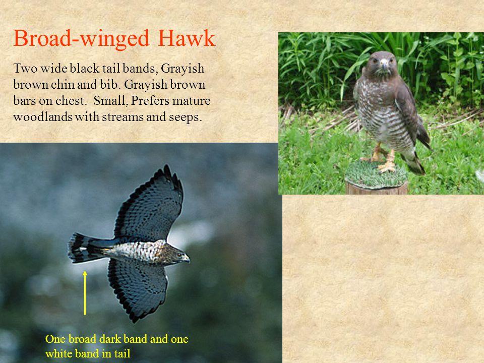 Rough-legged Hawk Artic Visitor.