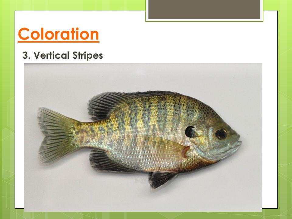 Coloration 3. Vertical Stripes