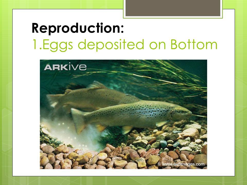 Reproduction: 1.Eggs deposited on Bottom