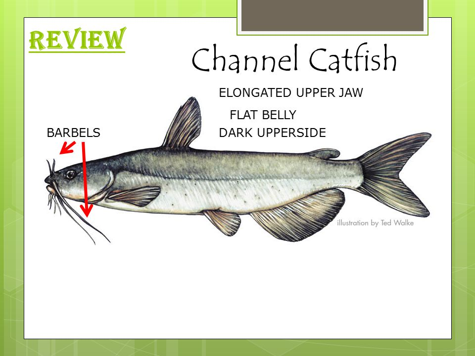 REVIEW Channel Catfish BARBELSDARK UPPERSIDE FLAT BELLY ELONGATED UPPER JAW