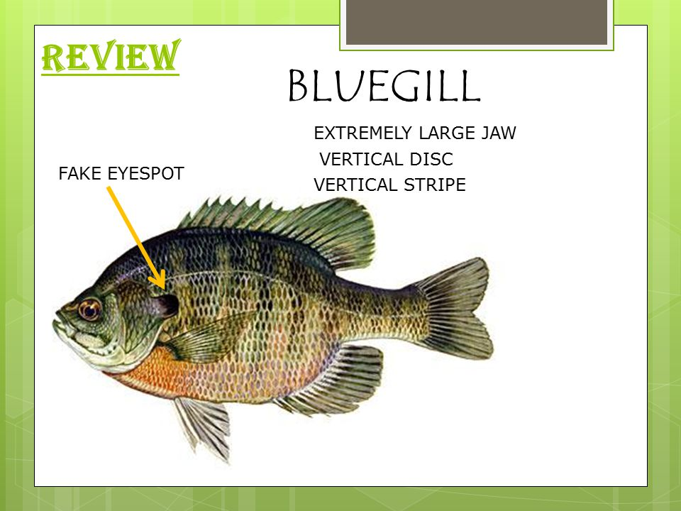 REVIEW BLUEGILL VERTICAL STRIPE VERTICAL DISC EXTREMELY LARGE JAW FAKE EYESPOT