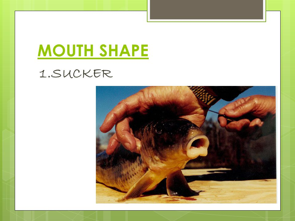 MOUTH SHAPE 1.SUCKER