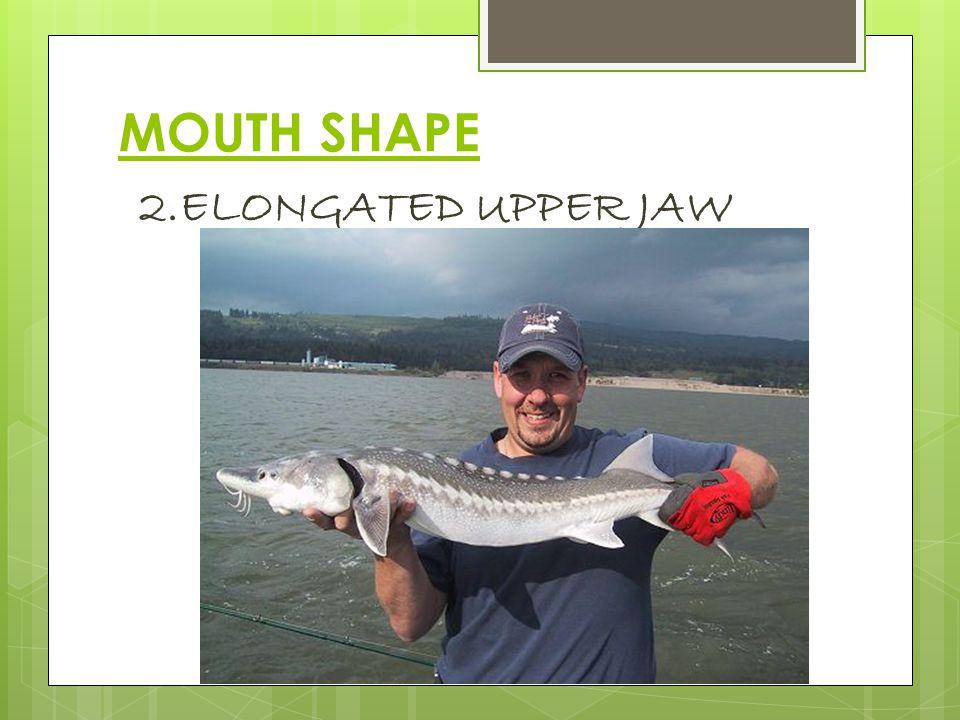 MOUTH SHAPE 3. ELONGATED LOWER JAW