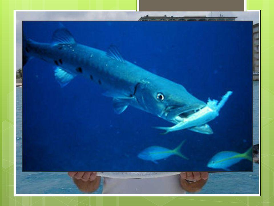 MOUTH SHAPE 4. DUCKBILL JAWS Musky Vs. Minnow Pike vs. Walleye