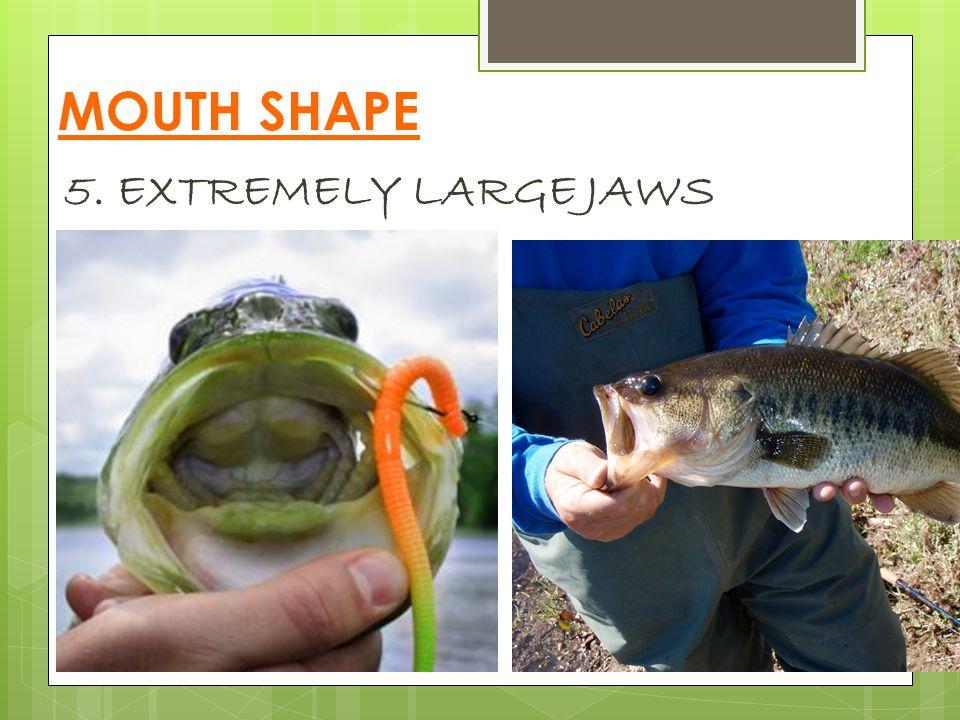 MOUTH SHAPE 5. EXTREMELY LARGE JAWS