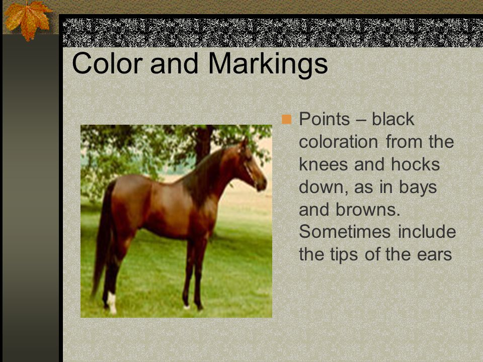 Color and Markings Points – black coloration from the knees and hocks down, as in bays and browns.