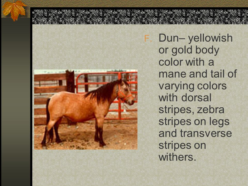 F. Dun– yellowish or gold body color with a mane and tail of varying colors with dorsal stripes, zebra stripes on legs and transverse stripes on withe