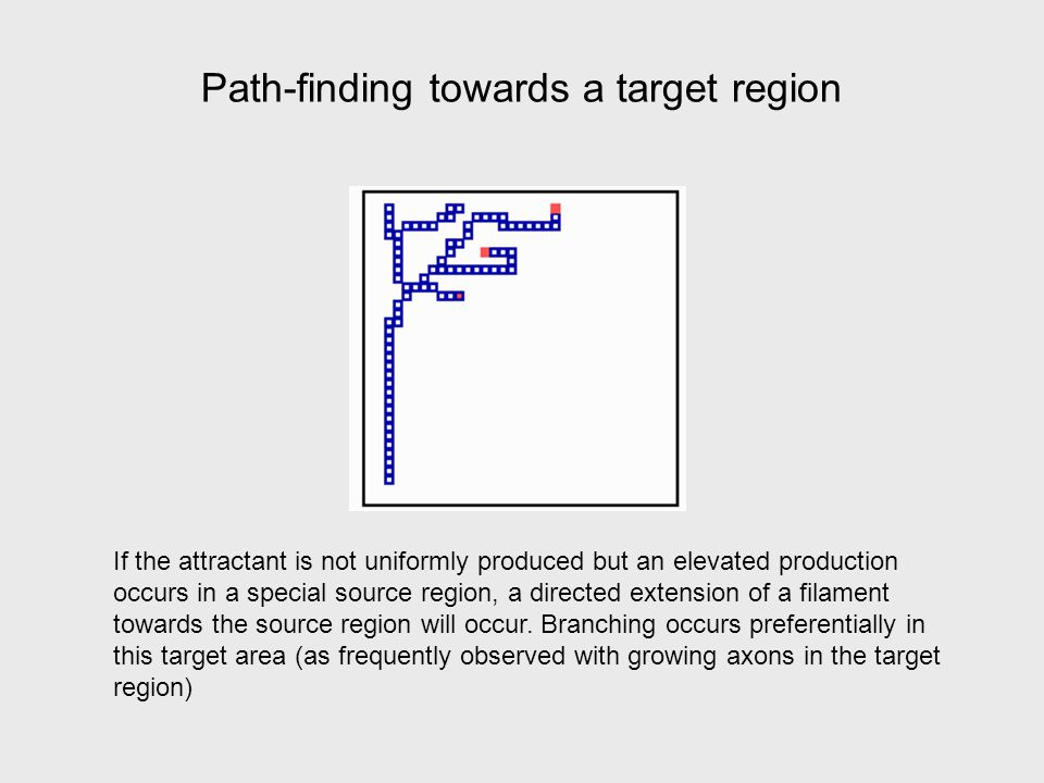 Path-finding towards a target region If the attractant is not uniformly produced but an elevated production occurs in a special source region, a directed extension of a filament towards the source region will occur.