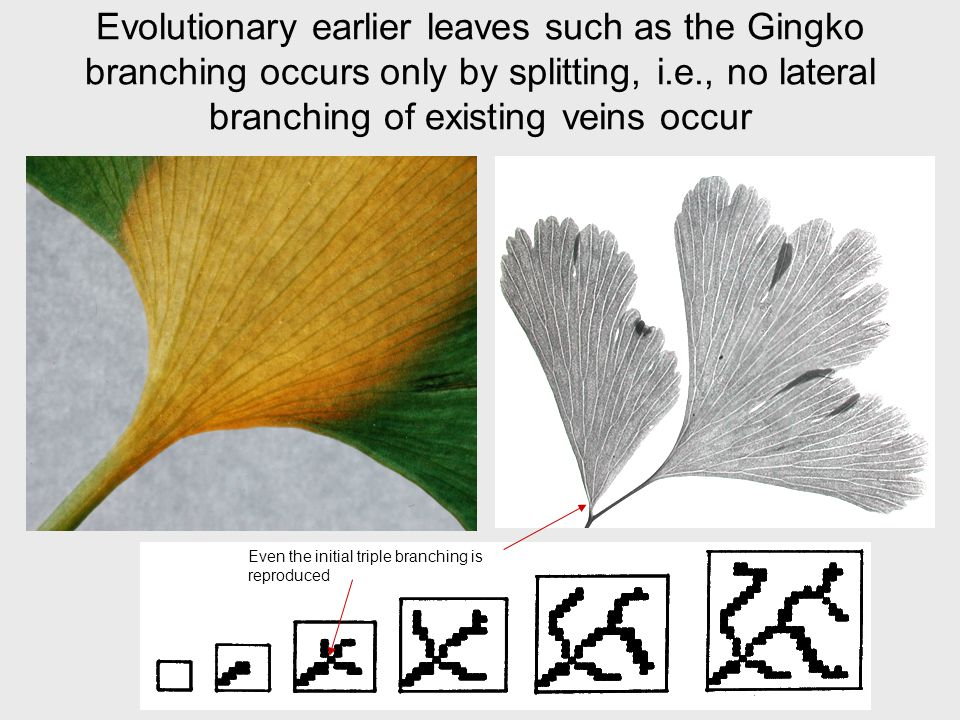 Evolutionary earlier leaves such as the Gingko branching occurs only by splitting, i.e., no lateral branching of existing veins occur Even the initial triple branching is reproduced