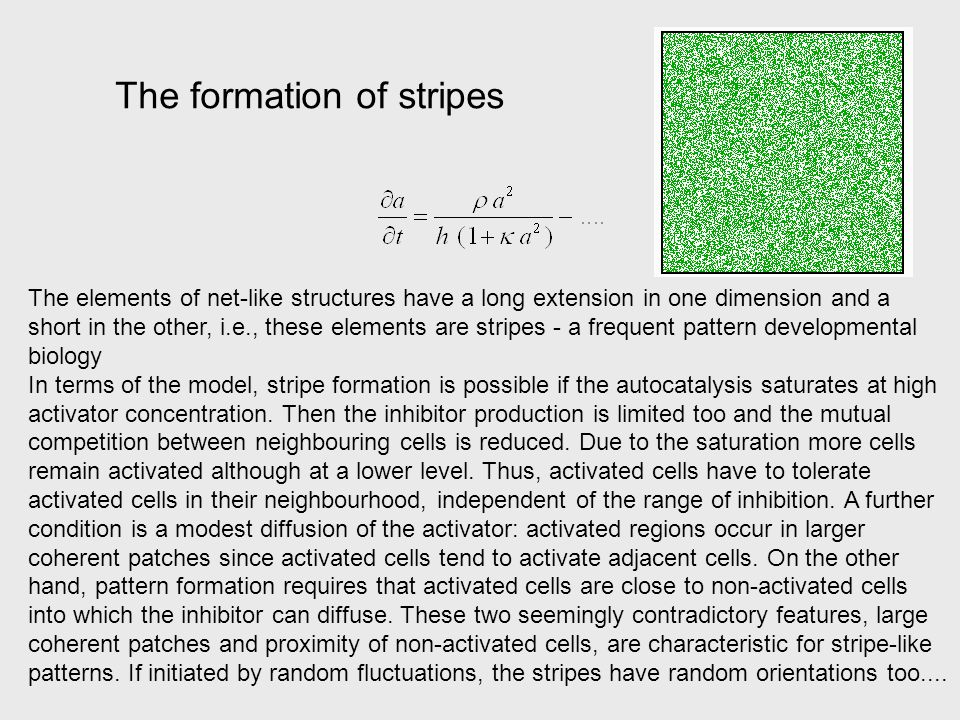 The formation of stripes The elements of net-like structures have a long extension in one dimension and a short in the other, i.e., these elements are stripes - a frequent pattern developmental biology In terms of the model, stripe formation is possible if the autocatalysis saturates at high activator concentration.
