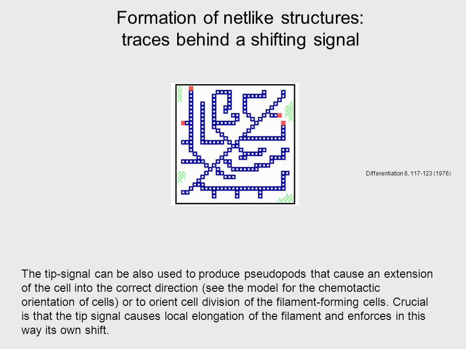 Formation of netlike structures: traces behind a shifting signal Differentiation 6, 117-123 (1976) The tip-signal can be also used to produce pseudopods that cause an extension of the cell into the correct direction (see the model for the chemotactic orientation of cells) or to orient cell division of the filament-forming cells.