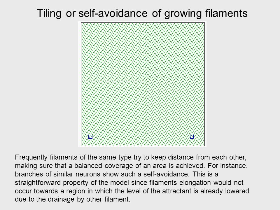 Tiling or self-avoidance of growing filaments Frequently filaments of the same type try to keep distance from each other, making sure that a balanced coverage of an area is achieved.