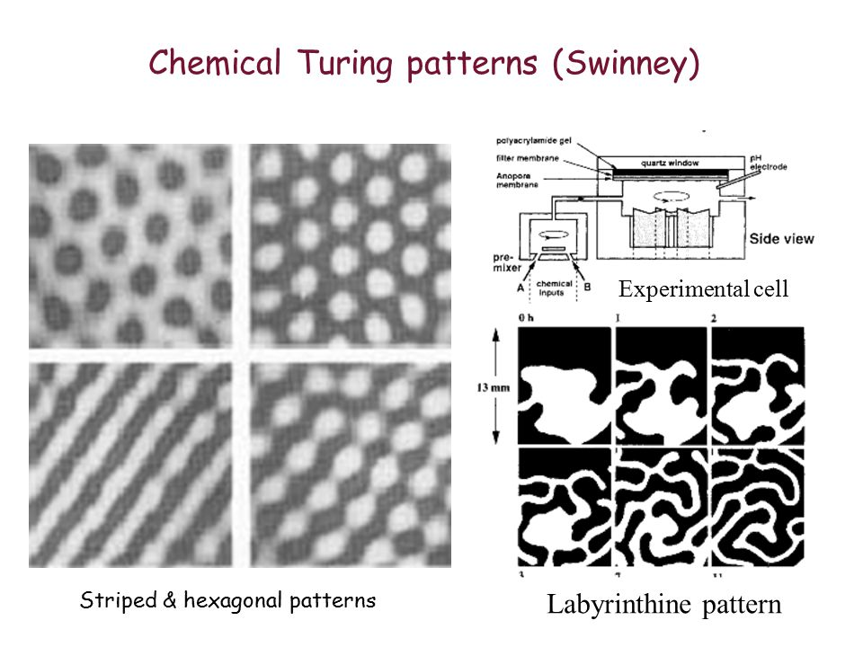 Animal coats & Turing patterns Simulated by RD equations Zebra & leopard