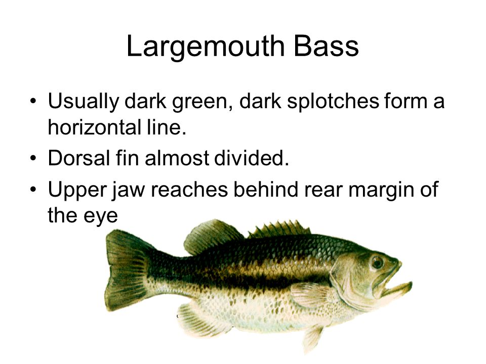 Largemouth Bass Usually dark green, dark splotches form a horizontal line.