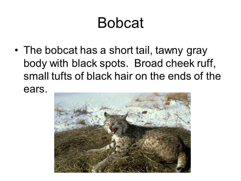 Bobcat The bobcat has a short tail, tawny gray body with black spots.