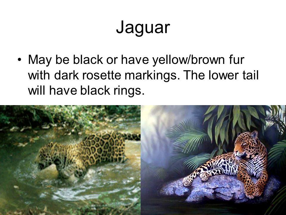 Jaguar May be black or have yellow/brown fur with dark rosette markings.