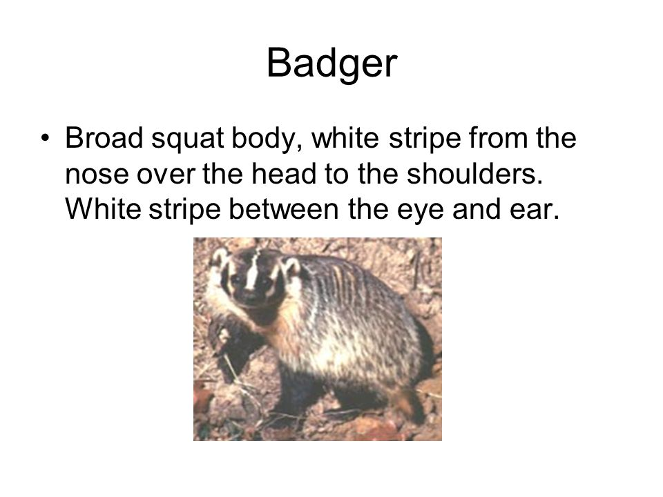 Badger Broad squat body, white stripe from the nose over the head to the shoulders.