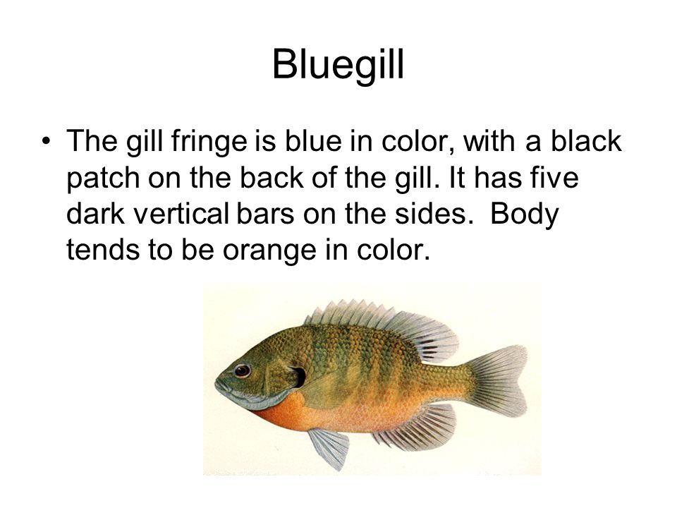 Bluegill The gill fringe is blue in color, with a black patch on the back of the gill.