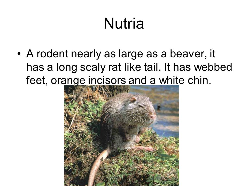 Nutria A rodent nearly as large as a beaver, it has a long scaly rat like tail.