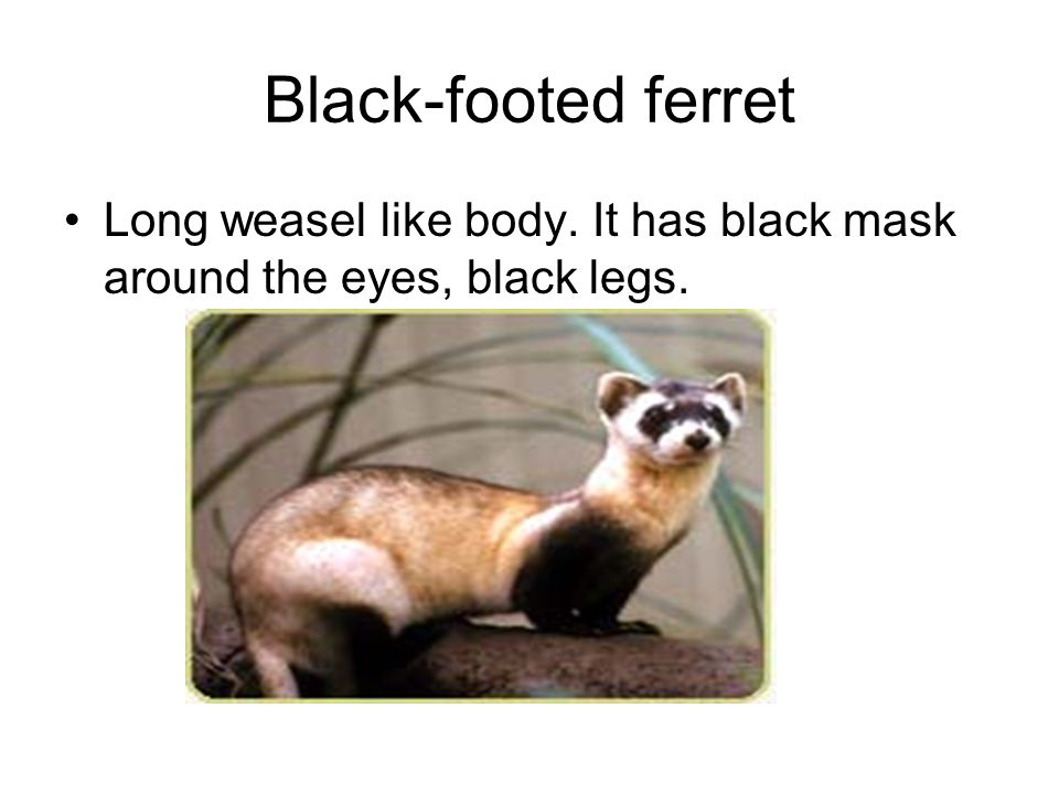 Black-footed ferret Long weasel like body. It has black mask around the eyes, black legs.