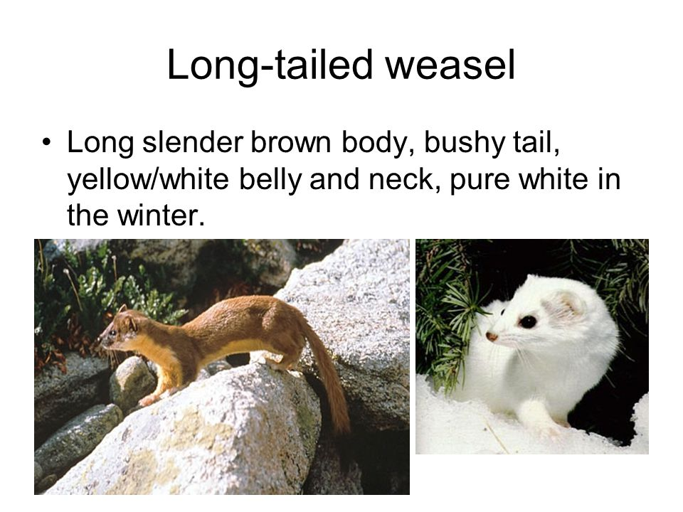 Long-tailed weasel Long slender brown body, bushy tail, yellow/white belly and neck, pure white in the winter.